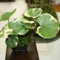 「おはようの花」 季節の山野草   ツワブキ「浮雲錦」   10月