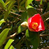 くらしの植物苑 蝋梅咲いていた・・・