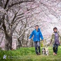 桜並木撮影会の写真