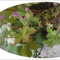 赤花ゲンノショウコの 花と実