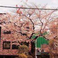 Neamuから見える桜ももうすぐ満開です
