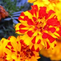 秋の花壇をにぎわす花‥⑤ 【ひで某】