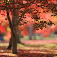 岡山後楽園:紅葉が一気に見頃