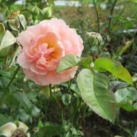咲きたいバラは咲く
