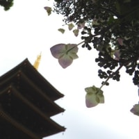 高幡不動尊 紫陽花 2020.06.02
