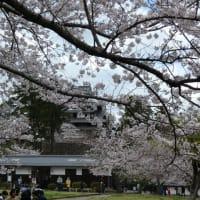松江城の桜。