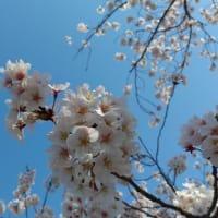 桜2020その2