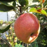 サラちゃん、リンゴを一緒に食べようね 191013