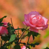 秋バラが綺麗