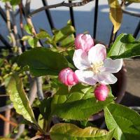 リンゴ、ナシ(2020/4/9)