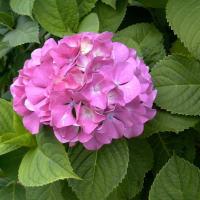 他家の紫陽花が羨ましい^^