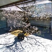 ウメ - 岩津天満宮