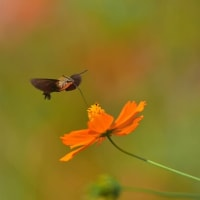 「ホバリングで食す!」 いわき 高野花見山にて撮影! キバナコスモスとヒメクロホウジャク