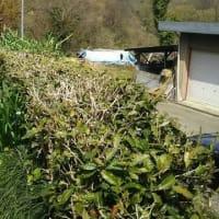 静岡で新茶の初摘みが始まりました・・・しんちゃんの所はまだ新芽が出てきておりません・・・