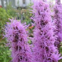 リアトリスの花は