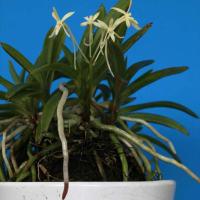 富貴蘭「黄花」の花