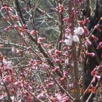 なんという種類の桜