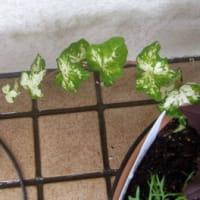 ★緑のカーテン用に、つる植物を調べています。
