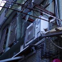 街猫春雷(シュンライノコロノマチネコ)① Okinawan Cats #2233