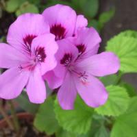 6/8 Myガーデンの花:ゼラニウム他