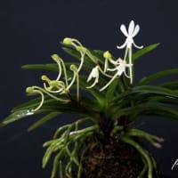富貴蘭「大江丸(柄落ち)」の花