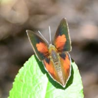 新潟の野蝶 ウラギンシジミ