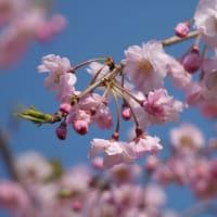 ●木場潟 満開のソメイヨシノ 白山と千本桜 八重紅枝垂れ桜