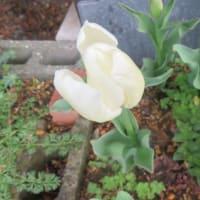 腹巻帽子11本目と昨日食べたものと朝の花