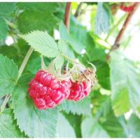 【日記】ラズベリー収穫.+*♪