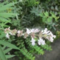 寺内町の花