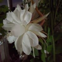 今宵もベランダから魅惑的な香りがしてきました〜🎶
