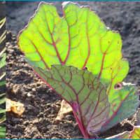 韮と紅菜苔