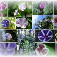 ●我が家の8月の花 真夏のラベンダーが一輪開花 朝顔