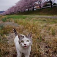 猫ちゃんも お花見