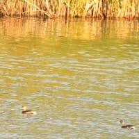 モエレの鳥たち 10/18 カモは減りましたがカイツブリが目につきます
