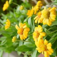 ●サンドリーム(ガイラルディア)が沢山開花 蜂さんがお仕事中 紫陽花に雨のしずく(映り込み)