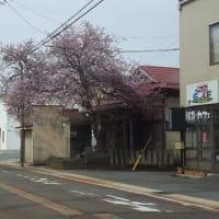 長井まちなか桜回廊 お誘い7