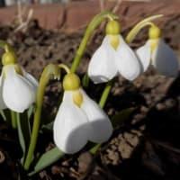 旭川 早くもスノードロップの花・2020年3月