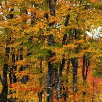 今が見頃 ブナ の森
