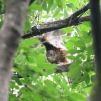エンゼルポーズもしているよ、オオタカの幼鳥。