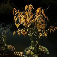棚場の黄葉 梅