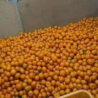黄金みかんの収穫