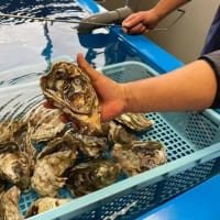 真鶴町の新ブランドの岩牡蠣「鶴宝(かくほう)」が初出荷!JSフードシステム