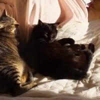 コウゴウセイ猫