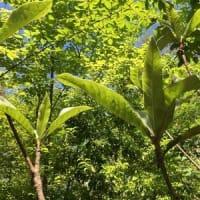 庭の栗の木