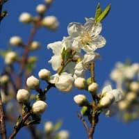 川端の桃の花