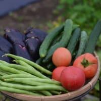 いろんな野菜の収穫です
