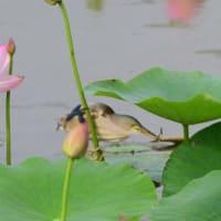 ハスの葉陰で、魚を探すヨシゴイ。
