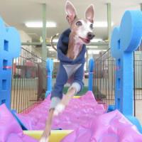 4月12日(日)の【パピーパーティー】開催中止のお知らせ。  犬のしつけ教室@アロハドギー
