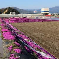 ヒャッ!これぞ田圃芸術「芝桜」。